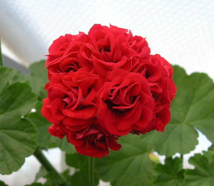 Пеларгония №21 Botansröda Rosebud
